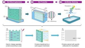 Read more about the article DNA Fingerprinting or Genetic Fingerprinting, Principle, Procedure