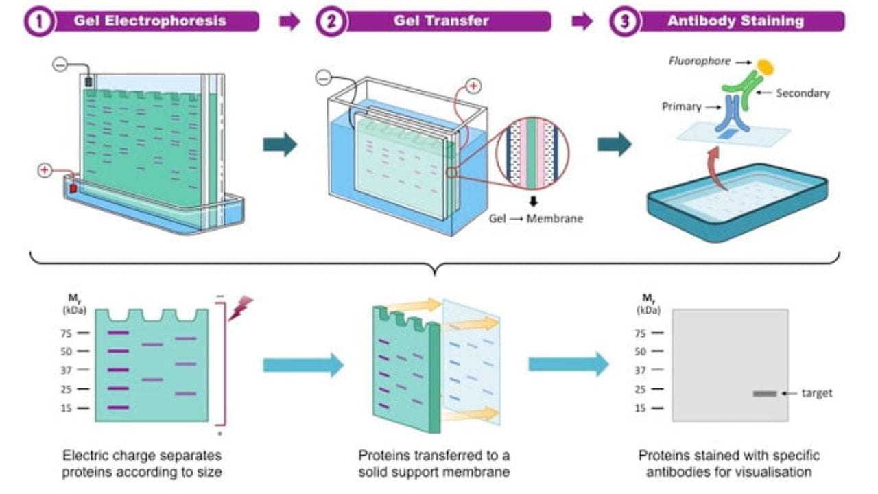 You are currently viewing DNA Fingerprinting or Genetic Fingerprinting, Principle, Procedure