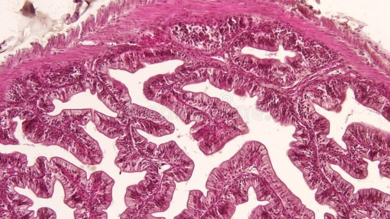 You are currently viewing Animal Tissue | Types of Tissues, Structure & Functions