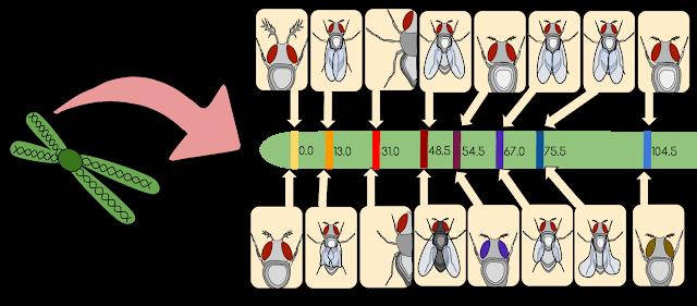 Drosophila melanogaster Gene Linkage Map