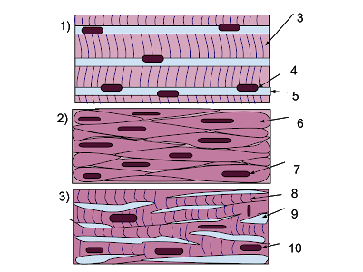 Muscle Tissue or Muscular Tissue