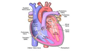 Read more about the article Human Heart Structure, Function, Chambers, & Double Circulation