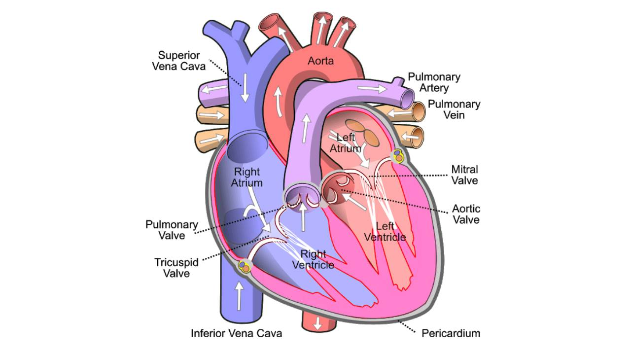You are currently viewing Human Heart Structure, Function, Chambers, & Double Circulation