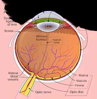 Human Eye Inner Part