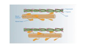 Read more about the article The Mechanism of Muscle Contraction, Sliding Filament Theory