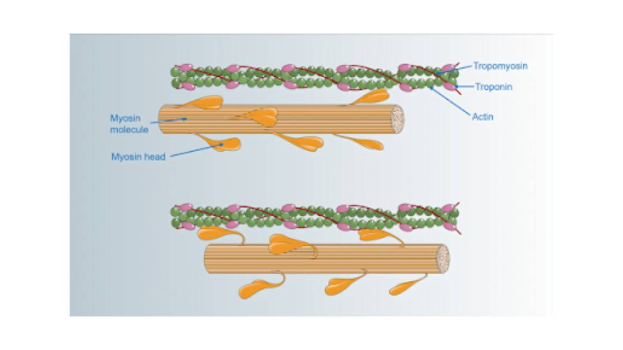 You are currently viewing The Mechanism of Muscle Contraction, Sliding Filament Theory