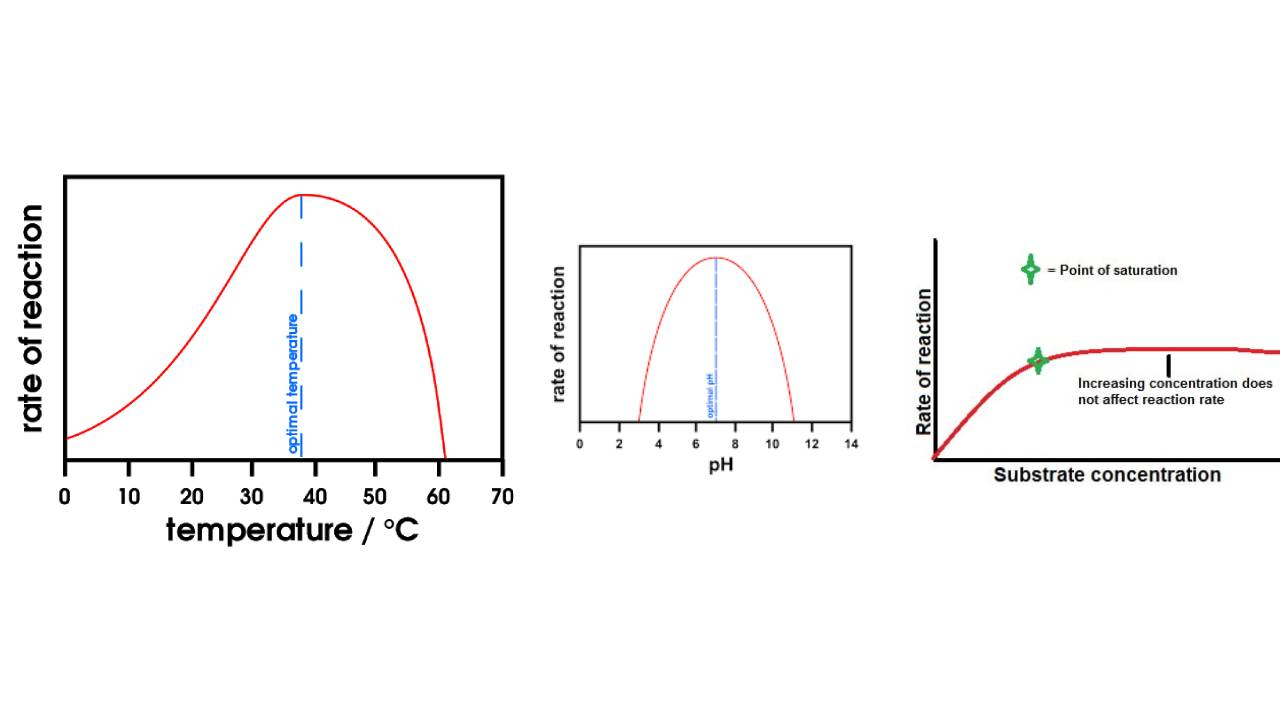 You are currently viewing The Factors Affecting Enzyme Activity | Temperature, pH, Substrate