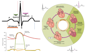 Read more about the article Cardiac Cycle, Phases of Cardiac Cycle, & ECG
