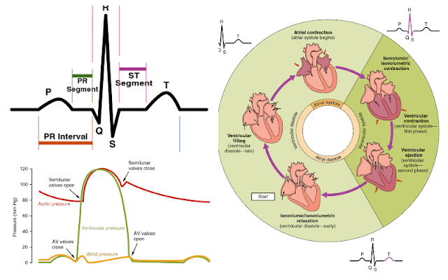You are currently viewing Cardiac Cycle, Phases of Cardiac Cycle, & ECG