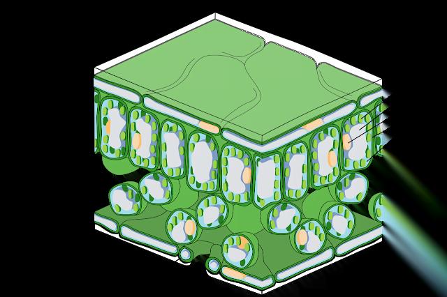 Leaf structure, Leaf internal structure, Mesophyll cell