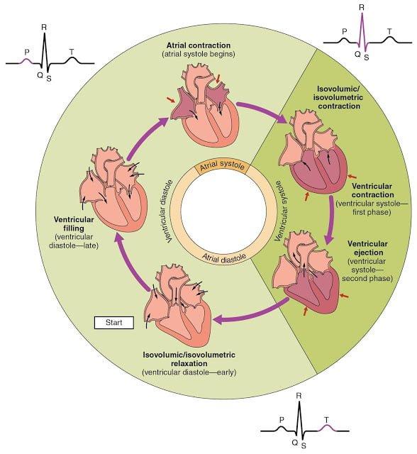 Cardiac Cycle Illustration