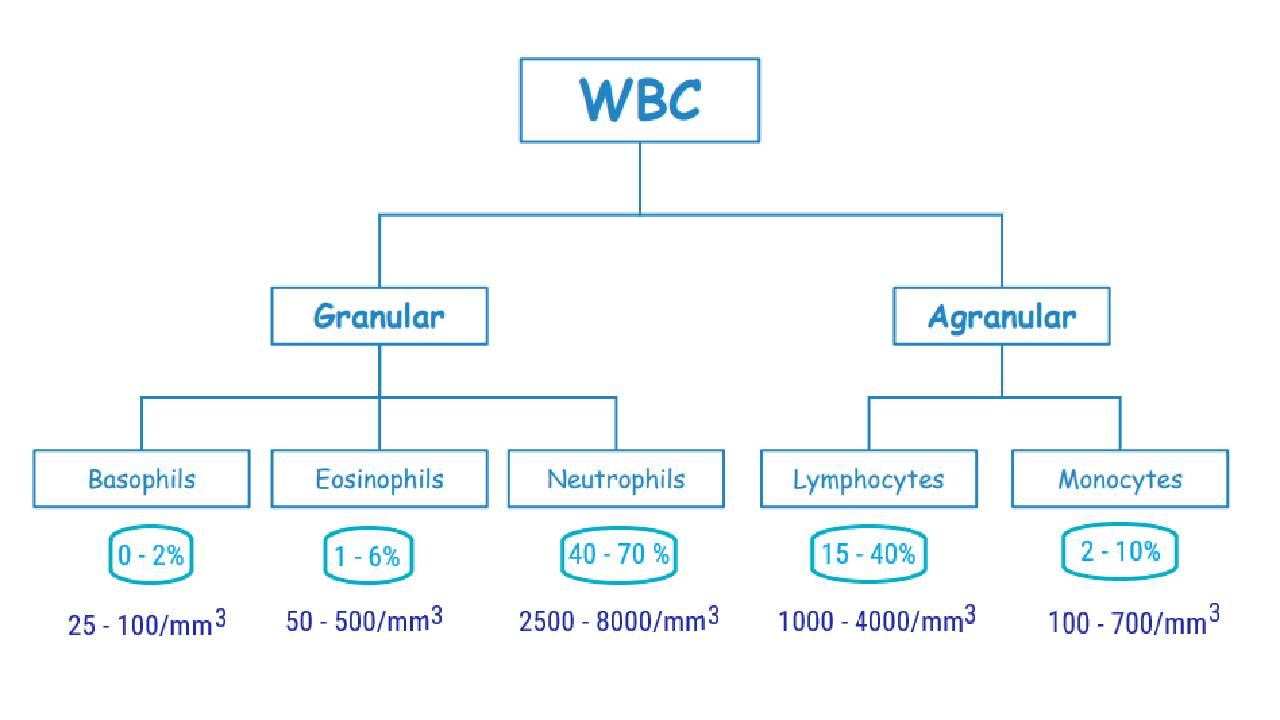 You are currently viewing What is DLC | Differential Leukocyte Count in Blood