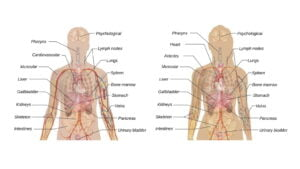 Read more about the article Organ System of Human Body – A Quick Overview